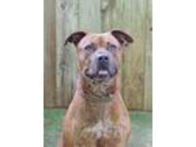 Adopt Lady a Brown/Chocolate Terrier (Unknown Type, Small) / Mixed dog in