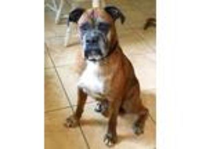Adopt Pickles a Brindle Boxer / Mixed dog in Central & West Florida