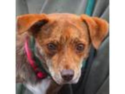 Adopt Bunny a Brindle - with White Beagle / Italian Greyhound / Mixed dog in
