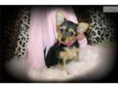 Adorable Little Girl Chorkie