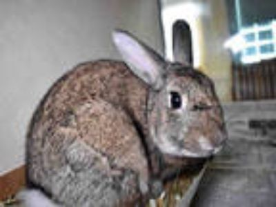 Adopt BONNIE SUE a Fawn Other/Unknown / Mixed rabbit in Ft Lauderdale