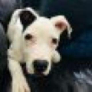 Paul Simon Pit Bull Terrier Dog