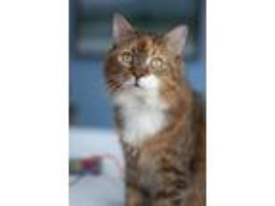 Adopt Coral18 a Domestic Mediumhair / Mixed (medium coat) cat in Youngsville