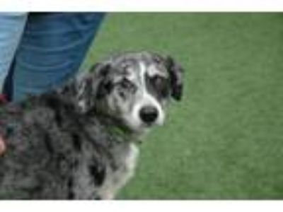 Adopt Ammo a Catahoula Leopard Dog, Mixed Breed