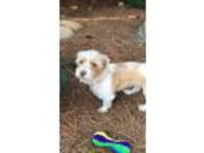 Adopt Naomie a White - with Tan, Yellow or Fawn Terrier (Unknown Type