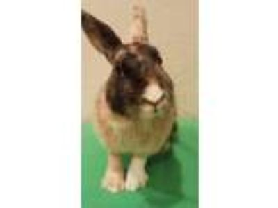 Adopt Harlow a Harlequin / Mixed rabbit in San Diego, CA (24792908)