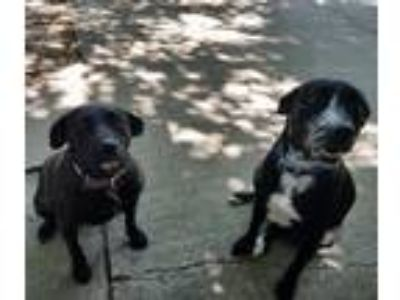 Adopt Elam a Black - with White Labrador Retriever / Hound (Unknown Type) /