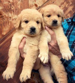 Golden Retriever & Labrador Retriever Puppies!