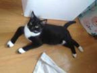 Adopt Leni a Tuxedo, Domestic Short Hair