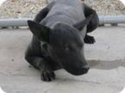 Adopt Nuri a Black Bull Terrier / Labrador Retriever / Mixed dog in Sherman