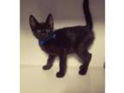 Adopt Carl a Black (Mostly) Domestic Shorthair (short coat) cat in Winter Haven