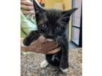 Adopt Chive a All Black Domestic Shorthair / Domestic Shorthair / Mixed cat in