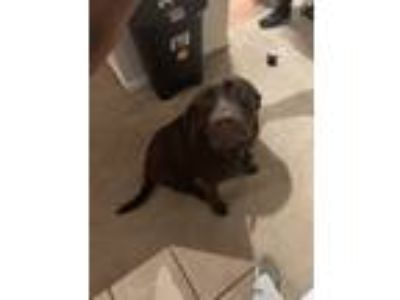 Adopt Marley a Brown/Chocolate Labrador Retriever dog in Fairfield