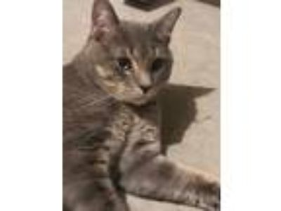 Adopt Scooby a American Shorthair, Russian Blue