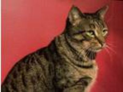 Adopt Theo a Domestic Short Hair