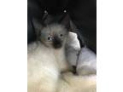 Adopt Charlotte/Charlie a Siamese / Mixed (short coat) cat in Spring
