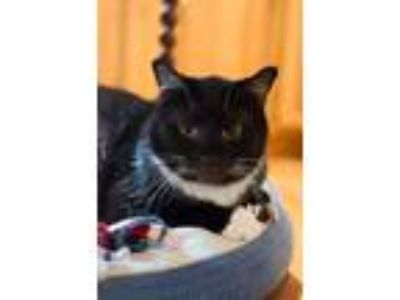 Adopt Boots a Tuxedo, Domestic Short Hair