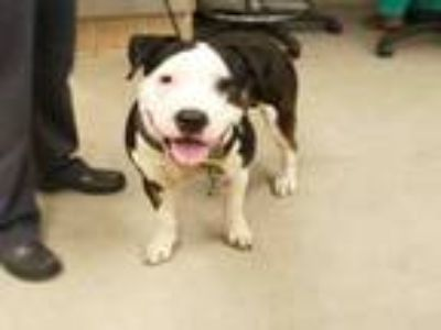 Adopt A414877 a Pit Bull Terrier
