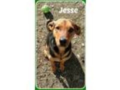 Adopt JESSE a Black - with Brown, Red, Golden, Orange or Chestnut German