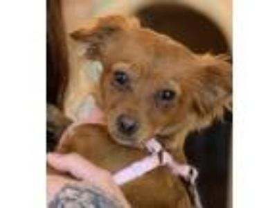 Adopt BELLE a Red/Golden/Orange/Chestnut - with Black Dachshund / Spaniel
