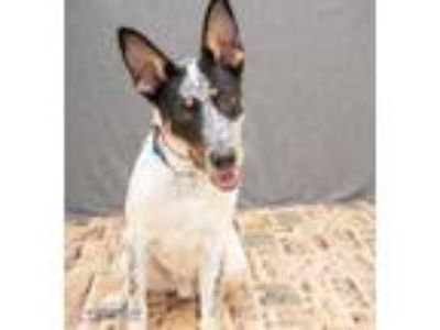 Adopt Rosco a White Australian Cattle Dog / German Shepherd Dog / Mixed dog in