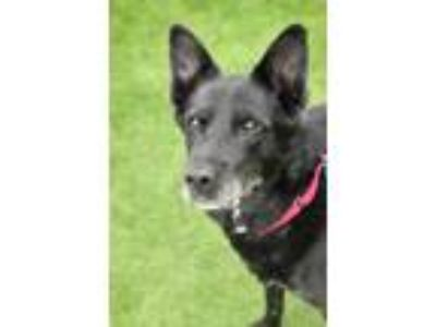 Adopt Sam The Man a Black Shepherd (Unknown Type) / Mixed dog in Cleveland