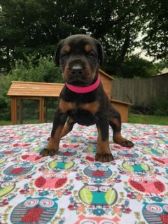 Doberman Pinscher PUPPY FOR SALE ADN-103468 - Female Eurpoean Doberman pup looking for a home