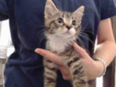 Adopt POSSOM a Brown Tabby Domestic Shorthair / Mixed (short coat) cat in Tulsa