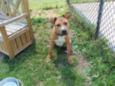 Adopt AGENT a Brown/Chocolate - with White American Pit Bull Terrier / Mixed dog