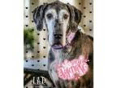 Adopt Duchess a Great Dane
