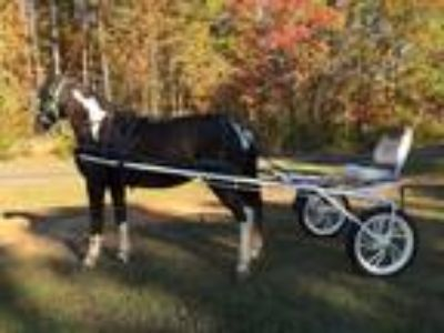 Flashy 9yr Paint Mare Drives and Rides