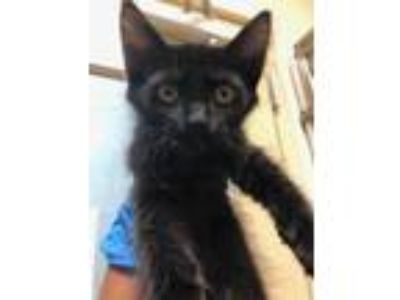 Adopt Billy Ray a All Black Domestic Shorthair / Domestic Shorthair / Mixed cat