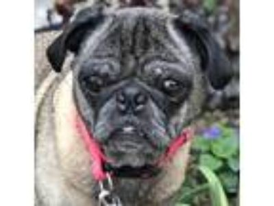 Adopt Baisley a Tan/Yellow/Fawn Pug / Mixed dog in West Kennebunk, ME (25895074)