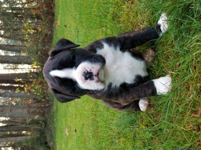 AKC Beautiful Boxer puppies
