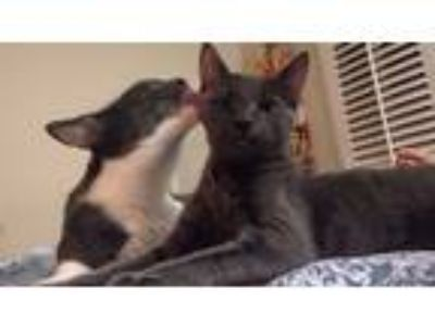 Adopt Murphie and Zetty a Gray, Blue or Silver Tabby Russian Blue (short coat)