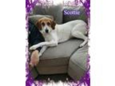 Adopt Butterscotch (Scottie) a Labrador Retriever, Hound