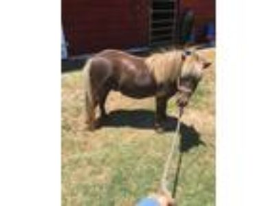 Eye Catching Miniature horse for sale in Georgia