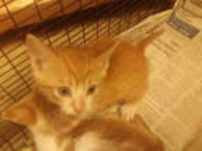 Adopt a Orange or Red Tabby Domestic Shorthair / Mixed (short coat) cat in