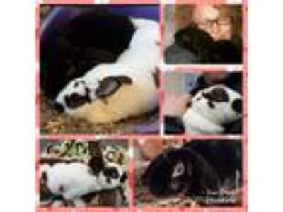 Adopt Bonnie and Ted a Black Mini Rex / Mixed (short coat) rabbit in Waynesboro
