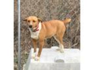 Adopt Lady a Red/Golden/Orange/Chestnut Feist / Mixed dog in Hazard