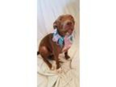 Adopt Cami a Pit Bull Terrier
