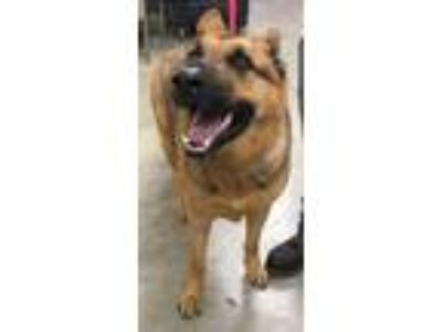 Adopt Mitch a Brown/Chocolate - with Black German Shepherd Dog / Mixed dog in