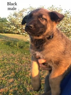 German Shepherd Dog PUPPY FOR SALE ADN-76410 - German Shepherd Pups