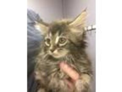 Adopt Cocoa a All Black Domestic Longhair / Domestic Shorthair / Mixed cat in