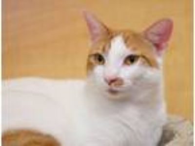 Adopt *Banjo a Orange or Red Tabby Domestic Shorthair / Mixed (short coat) cat