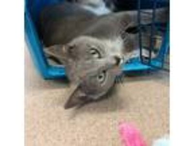 Adopt Ashley a Domestic Short Hair