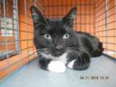 Adopt Twinkle a All Black Domestic Shorthair / Domestic Shorthair / Mixed cat in
