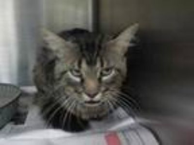 Adopt TURTLE a Gray, Blue or Silver Tabby Maine Coon / Mixed (long coat) cat in