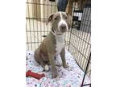 Adopt Ivory a Pit Bull Terrier / Mixed dog in Birmingham, AL (25887887)