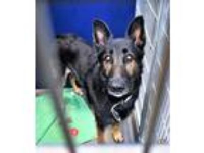 Adopt R232737/blake a German Shepherd Dog